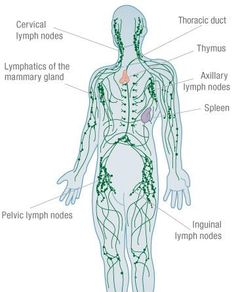 The lymphatic system is made up of hundreds of lymph nodes, lymph vessels, and lymphatic capillaries spread throughout the body and runs parallel to your venous system. Lymphatic Drainage Face, Drain Lymphatic System, Lymphatic Detox, Pressure Points Chart, Lymph Massage, Lymph Fluid, Arteries And Veins, Tips, Massage