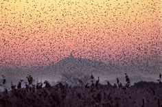 The haunting beauty of starlings flocking together near Glastonbury Tor