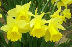 Daffodils- my favorite. So glad it's that time of the year.