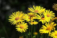 Flowers in the yard.  Camera: OM-D E-M1 Lens: Olympus M.Zuiko 40-150mm f/2.8 PRO + Olympus M.Zuiko MC-14 - Pasi Hartoma - Google+