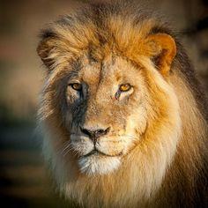 King of Kalahari -