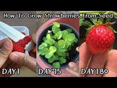How To Grow Strawberries From Seed How to get strawberry seedlings for free! ㅣ How To Grow Strawberr Strawberry Seed, Strawberry Planters, Strawberry Garden, Avocado Plant From Seed, Avocado Seed, Veg Garden, Fruit Garden, Growing Vegetables, Growing Plants
