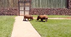 Watching Two Baby Rhinos Play Has Made Me Forget There Is Anything Wrong With The World