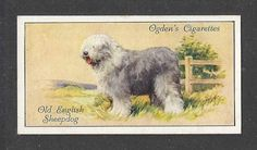 1936 UK Dog Art Body Portrait Ogdens Cigarette Card Old English Sheepdog BOBTAIL | eBay