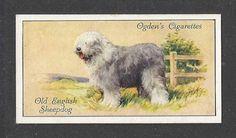 OLD ENGLISH SHEEPDOG Bobtail-1936