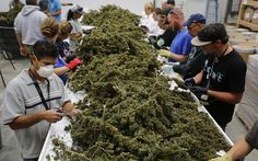Cannabis Is Producing Jobs, Revenue in States Where It's Legal: The states that have legalized recreational marijuana — a multibillion-dollar business — don't want to hear the federal government talk about a crackdown. The post Cannabis Is Producing Jobs, Revenue in States Where It's Legal appeared first on Leafly. https://www.leafly.com/news/politics/cannabis-producing-jobs-revenue-states-legal?utm_source=rss&utm_medium=Friendly+Connect&utm_campaign=RSS @leafly #legalize #cannabis