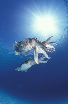 cuttlefish... The coolest animal ever