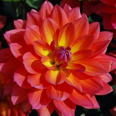 Dahlia 'Fire Pot' - Rose Cottage Plants