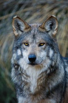 Beauty is in the eye of the beholder......I see beauty in this wolf.....God's creature.