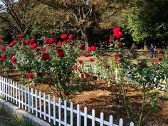 protective fencing for roses - Google Search