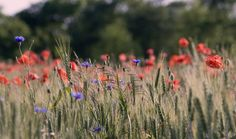 poppies - Field of poppies