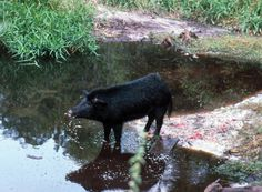 The wild pig (Sus scrofa), also called the wild hog, wild boar or feral pig, is not a Florida native