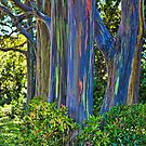 """Rainbow Eucalyptus by StarrK....  We saw these on Maui, on the """"Road to Hana"""".  We stopped to see them up close.  They are real trees!  Google it!"""