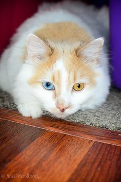 When a cat has one blue and one non-blue eye, it is likely deaf in the ear on the same side as the blue eye. #fyi #catinfo