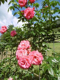 Romantische Rosenpracht auf dem Hotelgelände des #DolceVita Hotel Preidlhof Juni, Flowers, Plants, Plant, Royal Icing Flowers, Flower, Florals, Floral, Planets