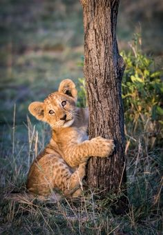 Big Cats, Cats And Kittens, Cute Cats, Cute Baby Animals, Animals And Pets, Wild Animals, Beautiful Cats, Animals Beautiful, Lion King Animals