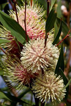 ピンクッションハケア, 花, オーストラリア, ネイティブ, 球面, ピンク, ホワイト, 低木                              …