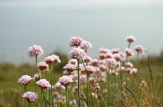 Pink Sea Thrift at Tresilian Bay | the Cardiff Cwtch