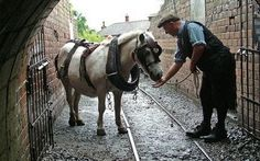 """The Last of the Pit Ponies Passes Away.   Pip, a """"pit pony"""" that worked in UK coal mines, died in 2009. In 1913, 70,000 ponies worked in underground mines."""