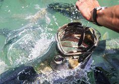 Hand feeding a Tarpon in the Florida Keys.