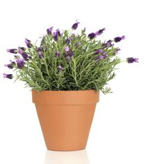 For Hanging Garden: Find out how to grow lavender as a houseplant. Discover plant care, tips for growing lavender plant indoors, planting and pruning lavender. Lavender Plant Care, Potted Lavender, Growing Lavender, Growing Herbs, Growing Flowers, Planting Flowers, Herb Garden, Garden Plants, Indoor Plants