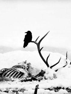 Raven Carcass