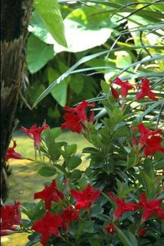 Mandevilla 'Aloha Red' This is a climber. It might be nice creeping up the back wall for a bit of colour? Has a very tropical feel. Pear Trees, Fruit Trees, Ornamental Pear Tree, Hello Hello Plants, Climbing Flowers, Late Autumn, Plant Images, Types Of Plants, Garden Supplies
