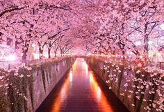 Une allée de cerisiers, au Japon.  #nature #cerisier #cherry #fleur #Japon #Japan #blossom #photo #photographie #art