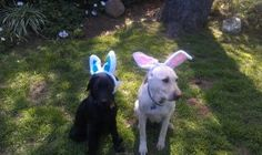 Happy Easter.....Holly & Shakirah.  Bunnie - Labs.