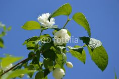 tree branch with white flowers on a background of blue sky