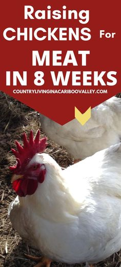 How to raise chickens for meat. Raise Cornish Cross in 8 weeks in the backyard. Raise Cornish Giants in Canada. Raising Backyard Chickens, Keeping Chickens, Pet Chickens, Day Old Chicks, Baby Chicks, What To Feed Rabbits, Small Space Gardening, Homestead Survival, Grow Your Own Food