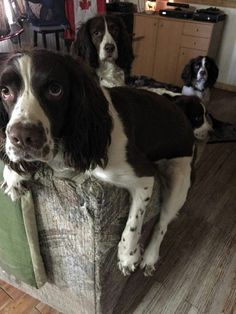 Springer Spaniels - What are you looking ?!