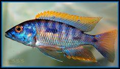 "Aulonocara ""Blue Gold"" Orange Shoulder Peacock"