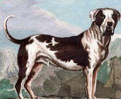 1766 Buffon Quarto Edition Dog MOLOSSER MASTIFF Color Plate Antique Animal Print
