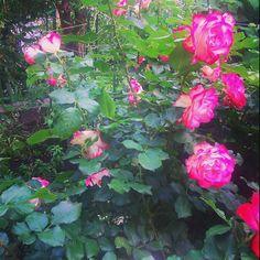 Розы у церкви