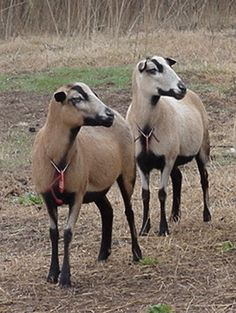 Barbados Blackbelly Sheep-  lawn mowers, meat producers and no shearing their hair  @EvanMurrayForGrey these are the sheep I was telling you about