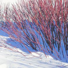 Pruning is key to maintaining red-twig dogwoods' color.