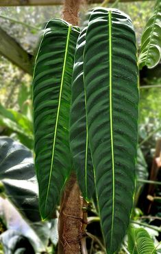 NSE Tropicals - The collector's plant source - Rare anthuriums, philodendrons, and other unusual plants Exotic House Plants, Unusual Plants, Rare Plants, Cool Plants, Leafy Plants, Variegated Plants, Green Plants, Tropical Plants, Long Leaf Plants