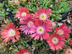 Delosperma dyeri 'Red Mountain' | Delosperma dyeri 'Psdold' | Red Mountain® Ice Plant | Red Mountain Hardy Ice Plant| plant lust