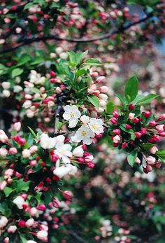 Sargent's Pink Flowering Crab (Malus sargentii 'Rosea') at Connon Nurseries CBV Dundas Ontario, Dwarf Trees, Pyrus, Front Walkway, Low Maintenance Plants, Nurseries, App, Flowers, Pink
