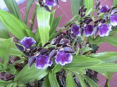 una mia orchidea