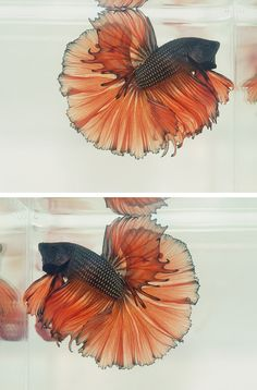 Dark metallic orange... fall betta!
