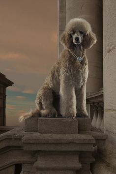 See more Poodle Dog Breed History