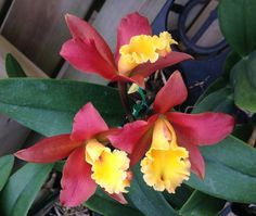 https://flic.kr/p/kR4tsX | Rhyncattleanthe Lily Marie Alma's 'MGR' (Rhyncattleanthe Orange Nugget x Cattleya Jalapa) #rhyncattleanthe #cattleya #orange #orchid #orchidsbyhausermann | Formerly a Blc. Flower - 2.5 inches Plant - 14 inches blooming with pot