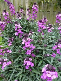 Erysimum 'Bowles Mauve'.  Low maintenance, evergreen and the most incredible flowering period...almost doesn't stop flowering if the winter is mild.  Shown further down the board with Alchemilla mollis.