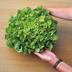 """Lettuce 'Salad Bowl' (Loose-Leaf)  Lactuca sativa  Half-hardy Annual  This highly regarded loose-leaf lettuce boasts an RHS AGM and an All American Selection Gold Award. Lettuce 'Salad Bowl' produces large non-hearting heads of tender, green leaves that are slow to bolt. Harvest the best leaves individually when required to keep this superb lettuce cropping all season long.  Height: 15cm (6""""). Spread: 25cm (10"""").    Sowing Months:March, April, May, June, July, August  Position:sun or semi…"""