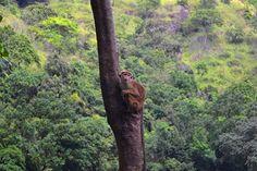 En apa på Sri Lanka