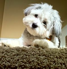 Top 10 Dog Breeds For Apartment Dwellers