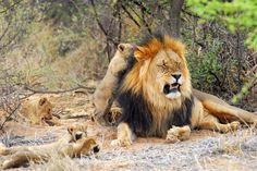 The Motse at Tswalu, Kalahari, South Africa. Cubs just want to play with Dad.