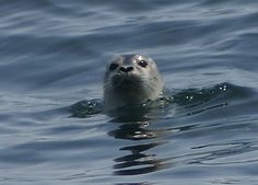 Seal in Maine